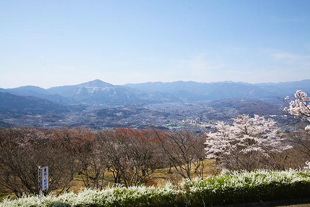 美の山公園:サクラ