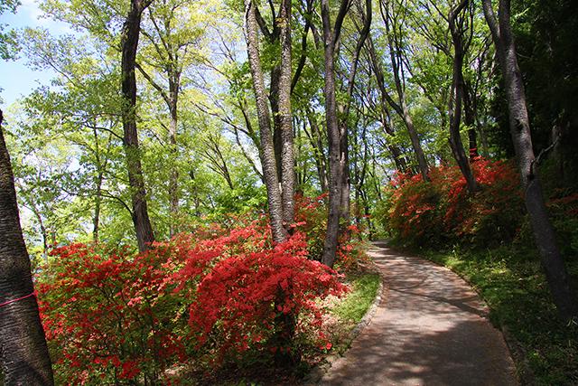 美の山公園:ツツジ