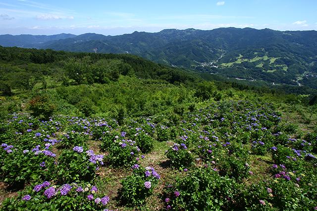 美の山公園:アジサイ