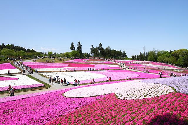 秩芝桜の丘